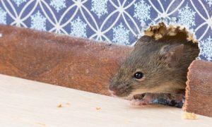 ποντικι στο σπιτι