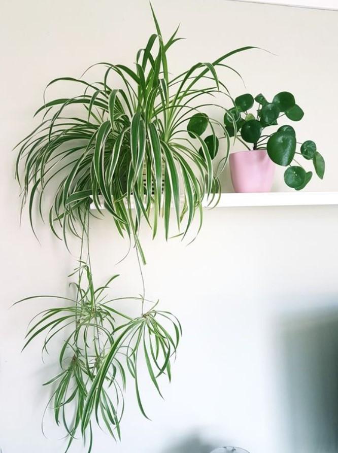 φυτό αράχνη