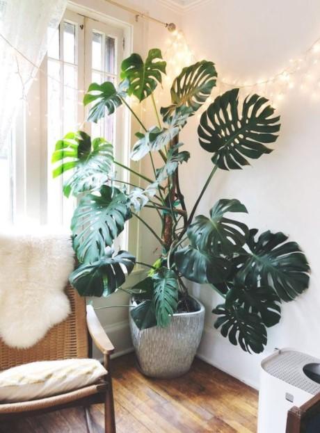 μεγάλη μονστέρα φυτά 2021