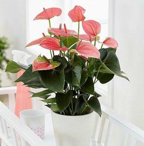 φυτό ανθούριο ροζ