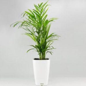 κεντια φυτό