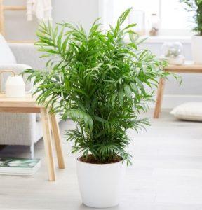 φυτό χαμαιδωρέα