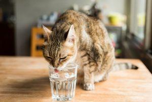 γατα πινει νερο απο ποτηρι