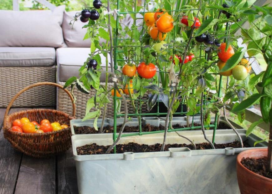 γλάστρες ντομάτες μπαλκόνι