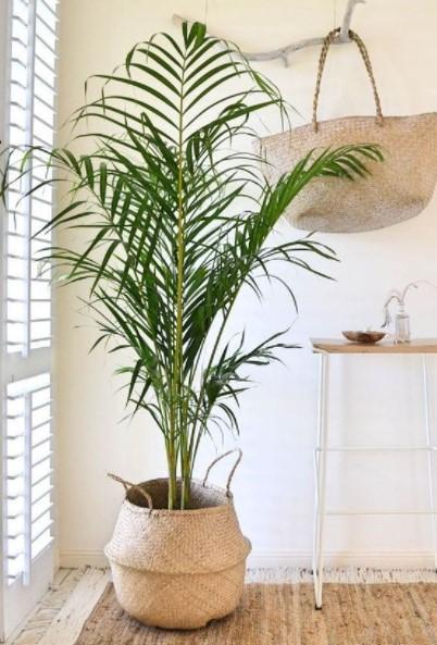 μεγάλος φοίνικας φυτά κλέψουν εντυπώσεις
