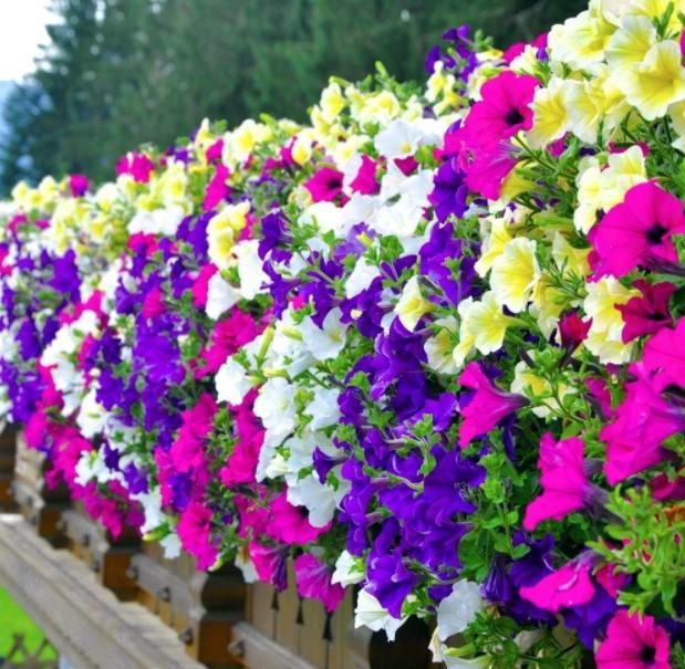 πολύχρωμες πετούνιες λουλούδια χρωματιστό μπαλκόνι