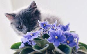 φυτά γάτα