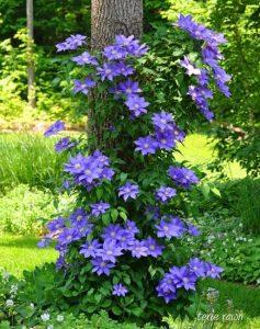 αναρριχώμενα λουλούδια κήπος