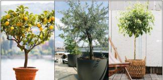 δέντρα γλάστρες