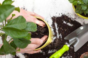 φυτό φυτεύεται γλάστρα