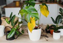 φυτό κιτρινισμένα φύλλα λόγοι πεθαίνουν φυτά
