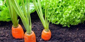 καρότα κήπος