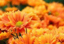 πορτοκαλί άνθη