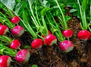 ραπανάκια λαχανικά λουλούδια φυτέψεις Σεπτέμβριο