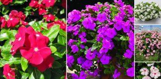 ανθεκτικά λουλούδια