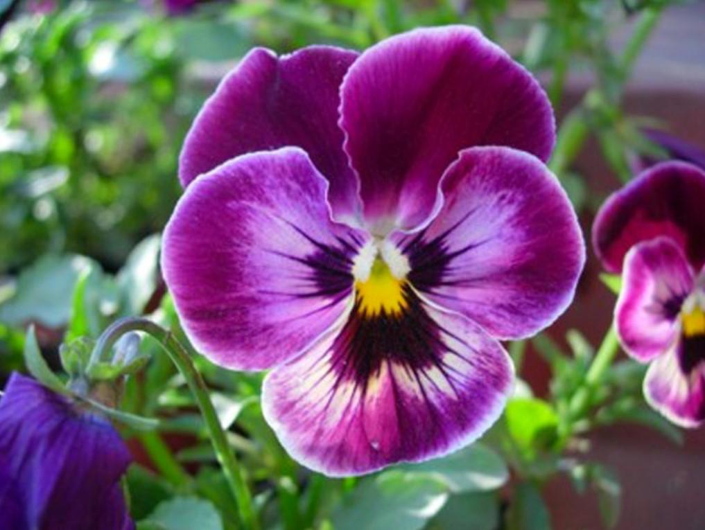λουλούδι πανσές