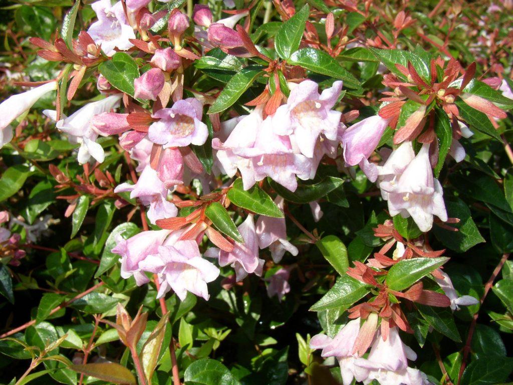 λουλούδι αβέλια