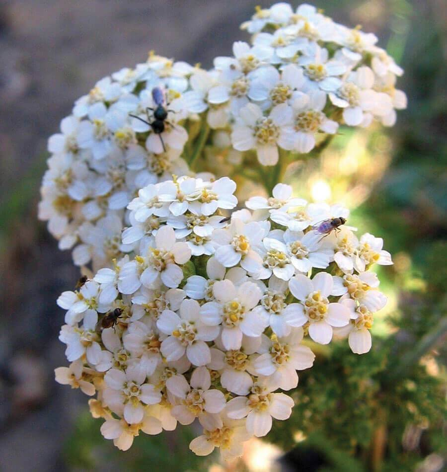 λουλούδι αγριαψιθιά