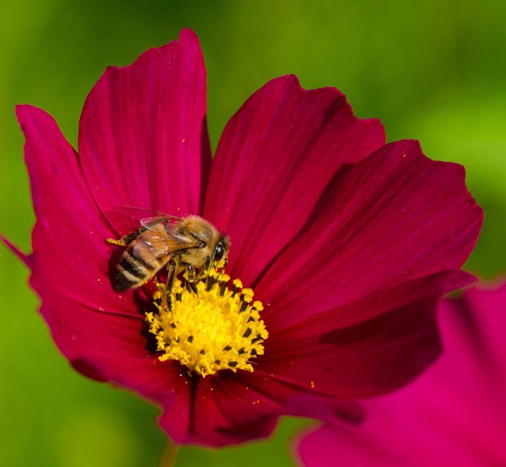 λουλούδι κόσμος
