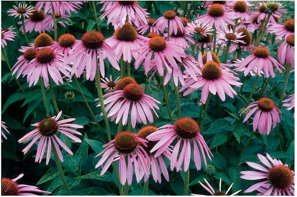 λουλούδι εχινάκεια
