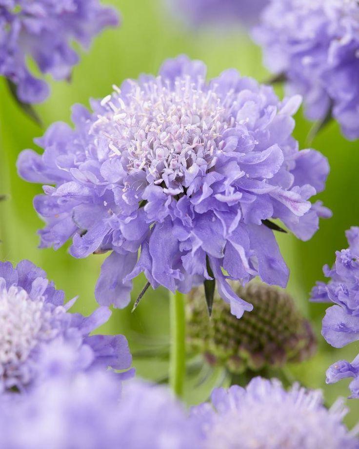 λουλούδι σκαμπιόζα