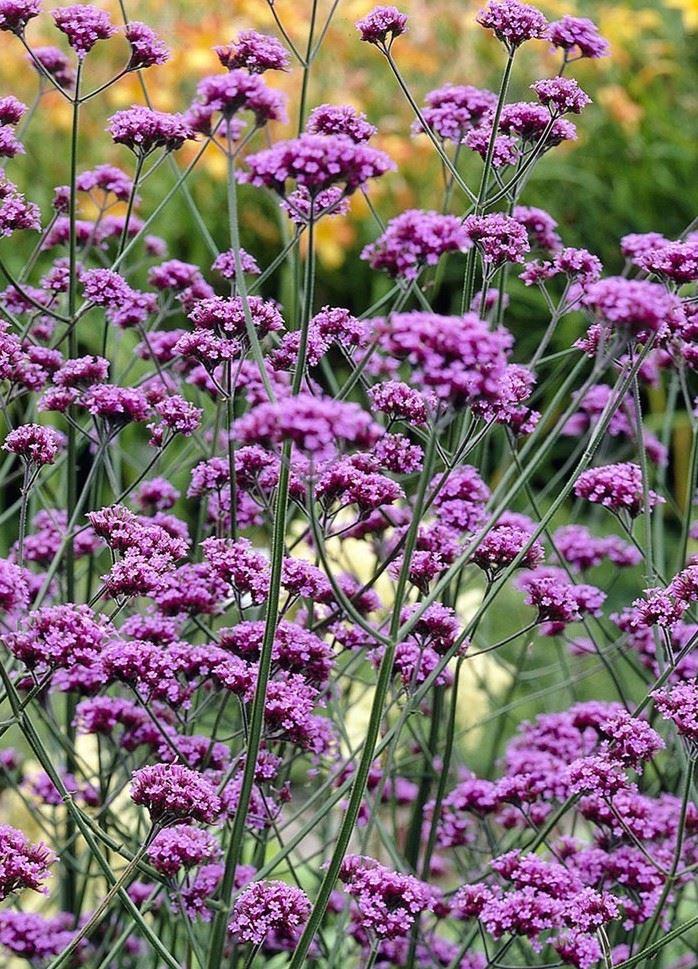 λουλούδι βερβένα
