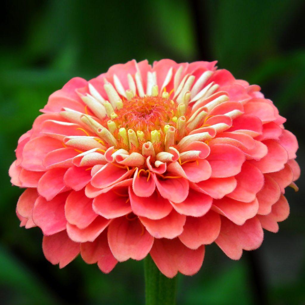 λουλούδι ζίνια